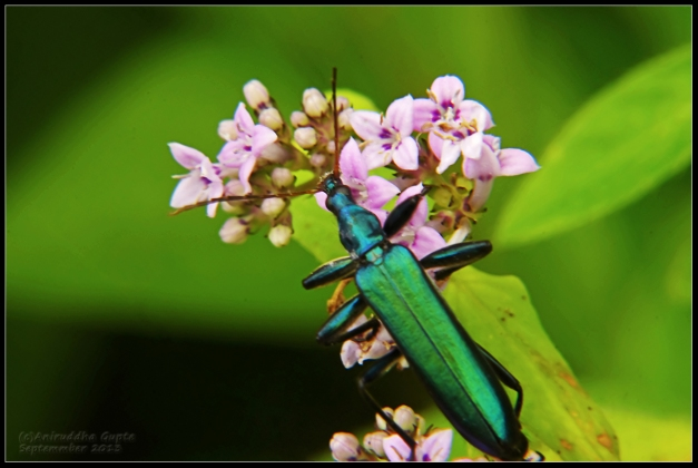 These emerald green beetles were plentiful, flittering among the wildflowers.